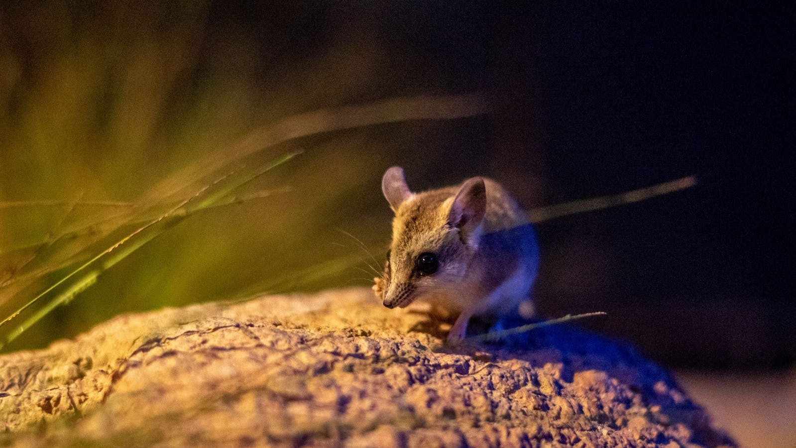 Spinifex Mouse sitting on a heap of sand in an arid setting.