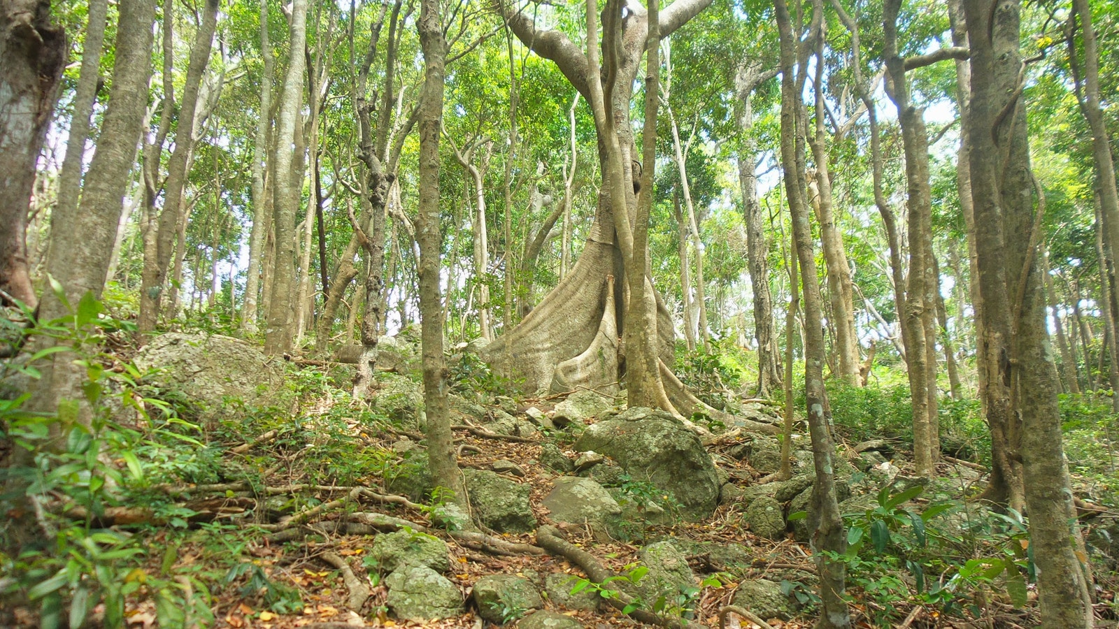 Buttress root, Rainforest circuit, Burleigh Head