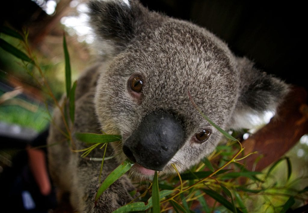 Close-up of koala looking at the camera