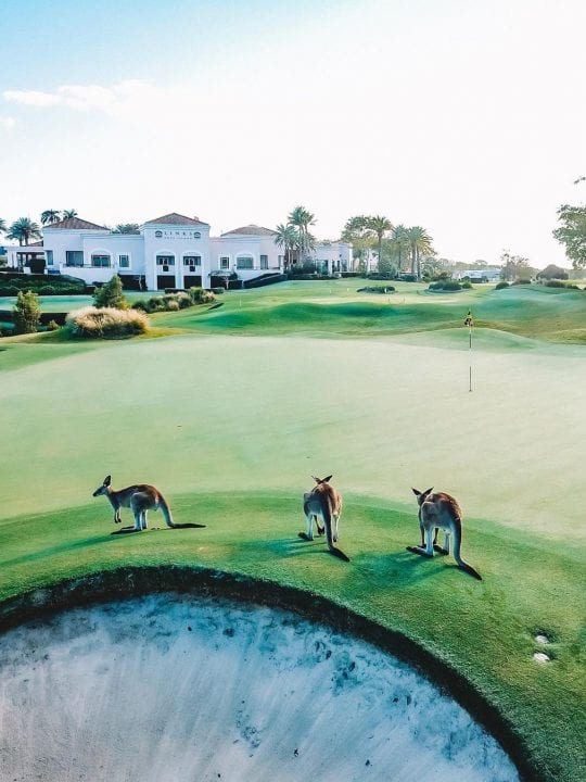Kangaroos on The Links Golf Course